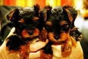 male and female teacup yorkie puppies to loving homes