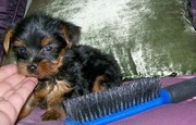 They are lovely tyea cup yorkie puppies for lovely home