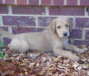 Great Danedoodle for sale 12wks old