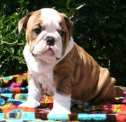 OUT STANDING ENGLISH BULLDOG PUPPIES READY