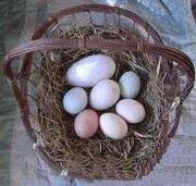 Fertile Parrot Eggs Varieties for Sale
