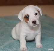 Good Looking Jack Russell Puppies For Adoption